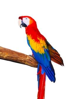 Papagaio colorido exótico em um fundo branco