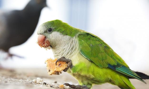 Papagaio comendo um pedaço de pão