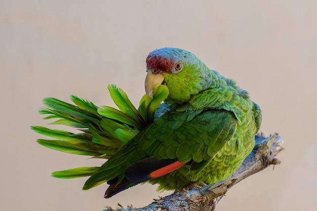 Papagaio-da-amazônia coroado de lilás, preparando e puxando as penas da cauda