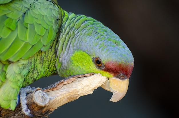 Papagaio-da-amazônia-coroado lilás cuidando de arranhar