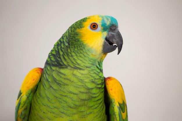 Papagaio da amazônia de frente azul