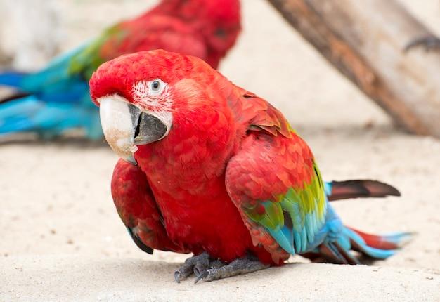 Papagaio da arara escarlate