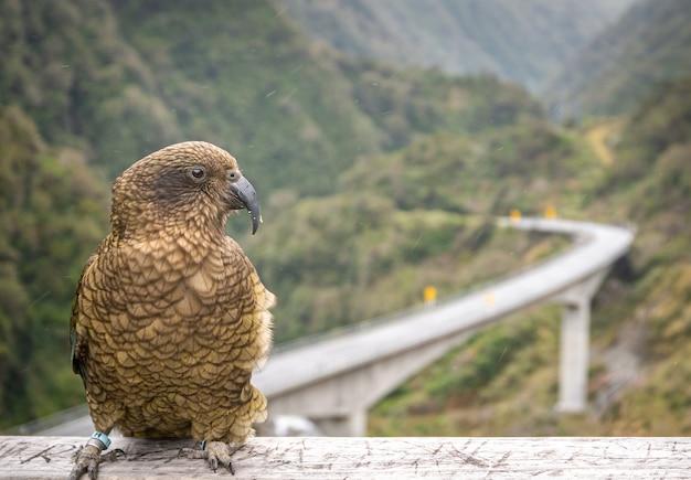 Papagaio-da-montanha posando foto de close-up de nestor kea nativo localizado apenas na ilha ao sul da nova zelândia