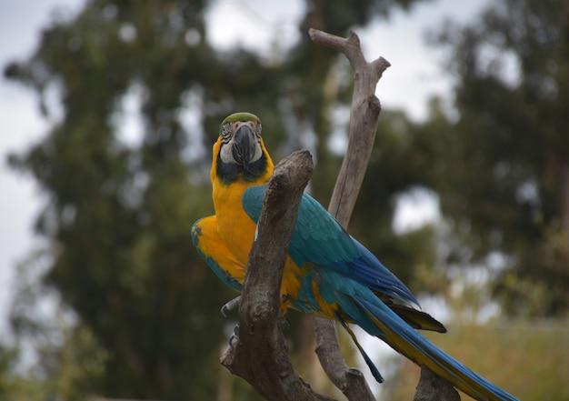 Papagaio de arara azul e amarelo atraente em um poleiro.