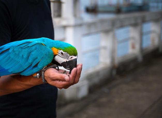 Papagaio de arara azul e dourado comendo comida nas mãos.