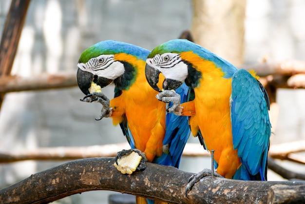 Papagaio de arara azul e ouro amarelo belas aves no zoológico