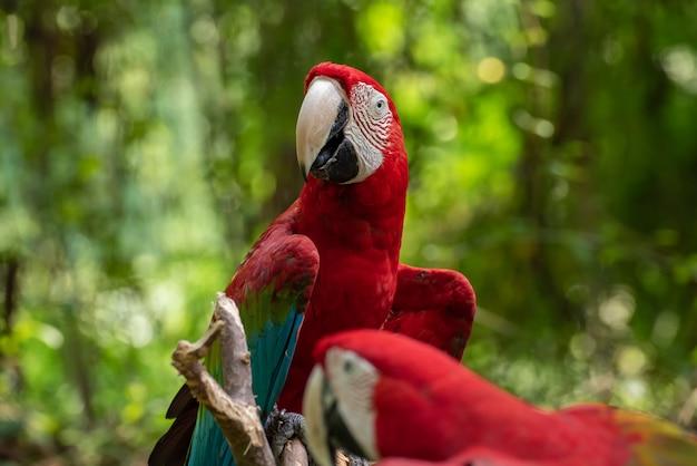 Papagaio de arara colorida em um galho de árvore