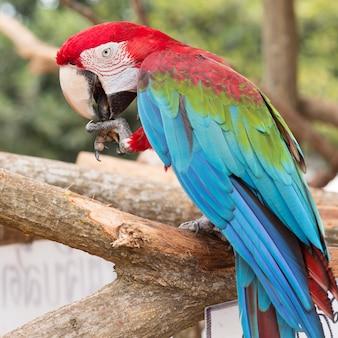 Papagaio de arara colorida