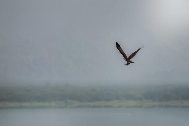 Papagaio de brahminy (mar-eagle vermelho-suportado) que voa e que trava o peixe no lago. copie espaço