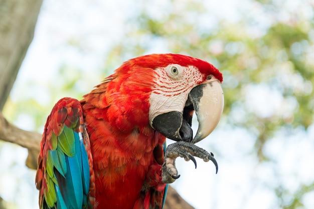 Papagaio de macaw azul e vermelho