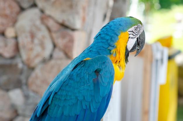 Papagaio de marcow, modelado fundo, turva