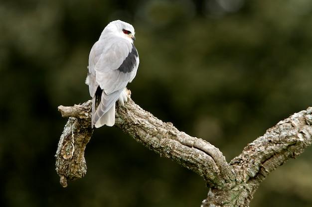 Papagaio de ombro preto com as primeiras luzes do dia, kie, falcão, falcão, pássaro, elanus caeruleus