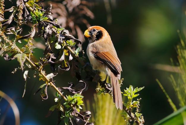 Papagaio-de-peito-vermelho paradoxornis guttaticollis belos pássaros da tailândia