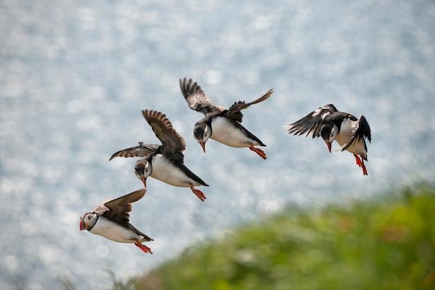 Papagaio-do-mar atlântico ou papagaio-do-mar comum - fratercula arctica em mykines, ilhas faroé
