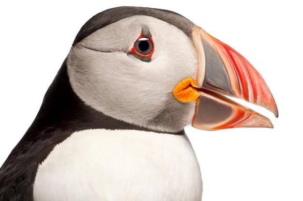 Papagaio-do-mar atlântico ou papagaio-do-mar comum - fratercula arctica