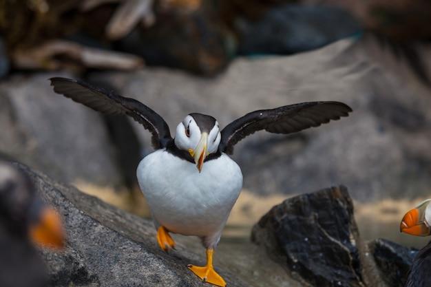 Papagaio-do-mar-chifre (fratercula corniculata), close-up