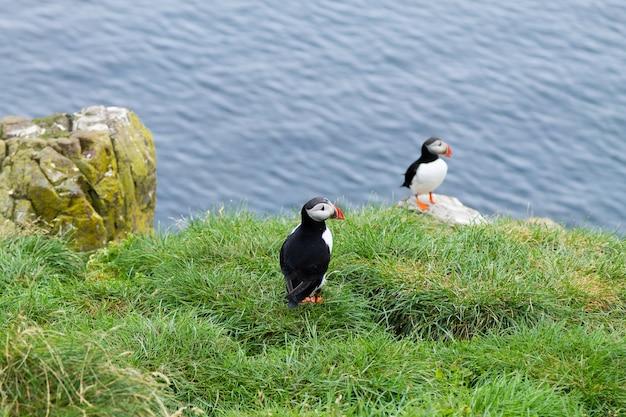 Papagaio-do-mar do atlântico do fiorde borgarfjordur, leste da islândia
