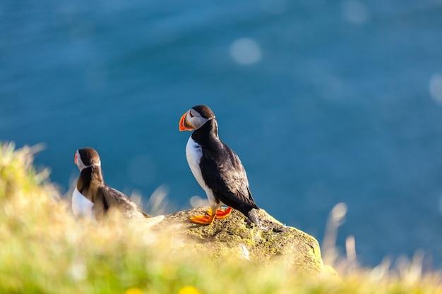 Papagaio-do-mar do atlântico -fratercula arctica- em um penhasco costeiro no oeste da islândia
