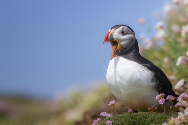 Papagaio-do-mar selvagem do atlântico nos penhascos da irlanda
