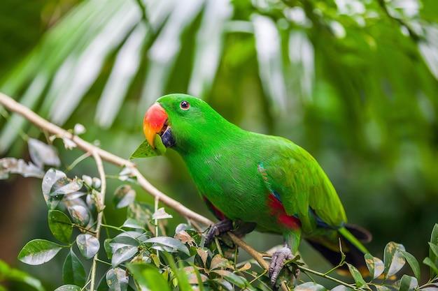 Papagaio eclectus verde sentado no galho