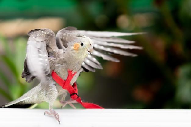 Papagaio em cativeiro tropical