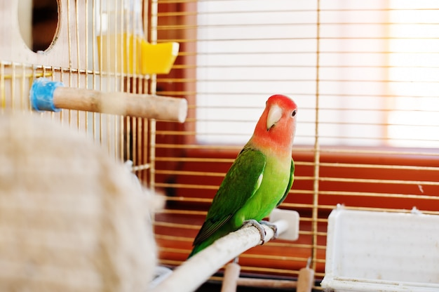 Papagaio engraçado periquito em grande gaiola no rooom com luz do sol.