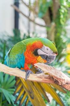 Papagaio macau