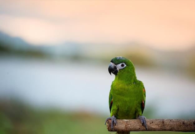 Papagaio macore do pássaro do papagaio da manhã bonita que está em um trilho de madeira ásia tailândia.