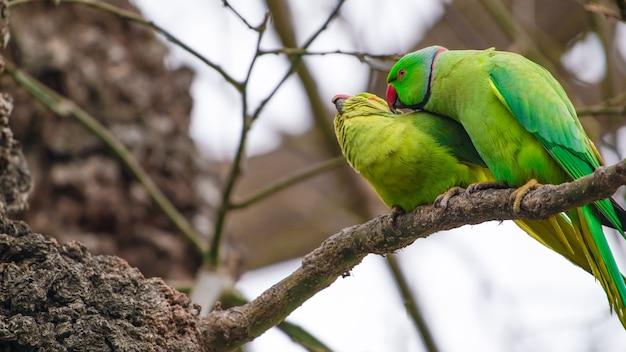 Papagaio masculino cuidando da fêmea no galho