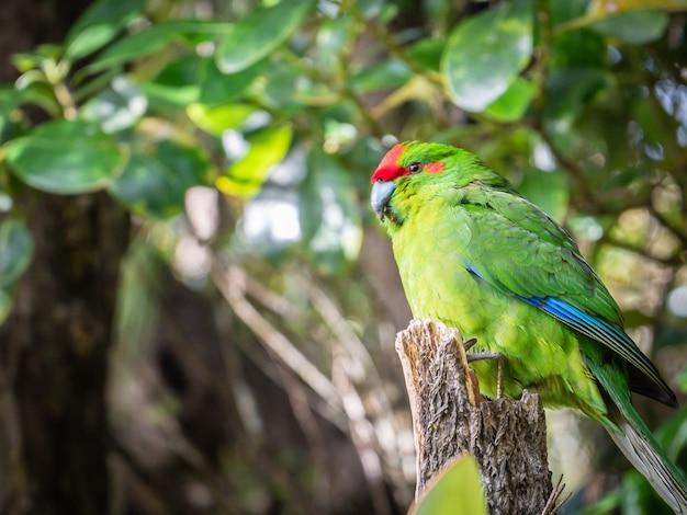 Papagaio nativo raro em seu habitat natural ulva ilha stewart ilha rakiuranew zelândia