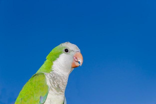 Papagaio no fundo do céu celestial