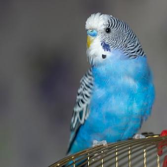 Papagaio ondulado azul senta-se em uma gaiola