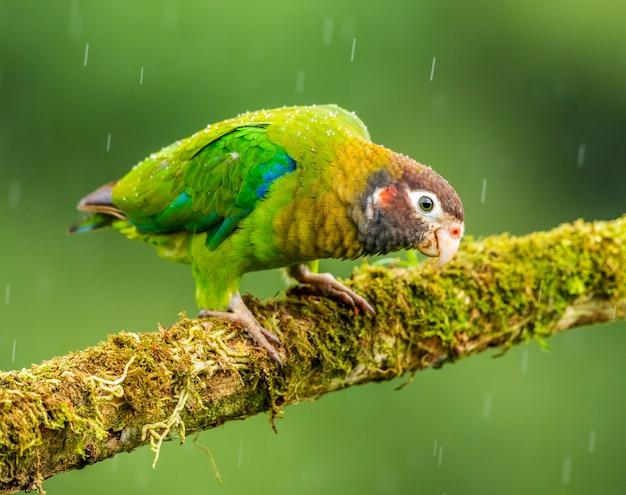 Papagaio pequeno que senta-se no poleiro que inclina-se adiantado