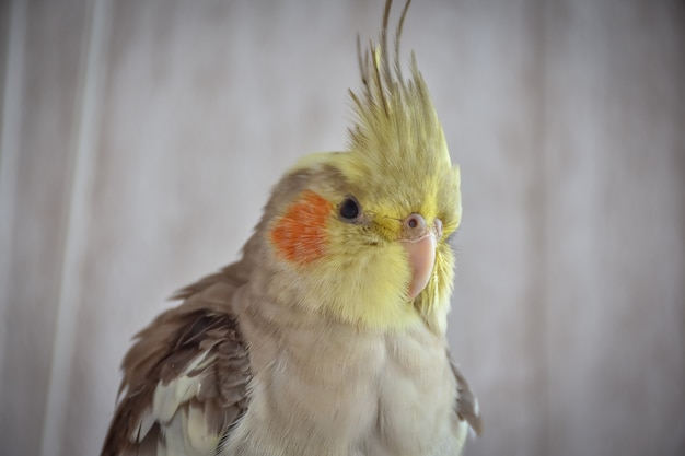 Papagaio periquito cinza na gaiola, papagaio atrás das grades