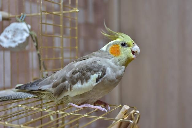 Papagaio periquito closeup sentado na gaiola