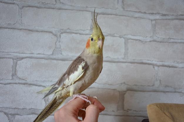 Papagaio periquito sentado na mão, retrato de um papagaio, close-up do periquito