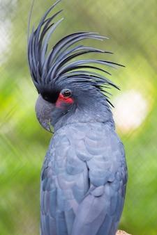 Papagaio-preto cacatua-palmeira (probosciger aterrimus)