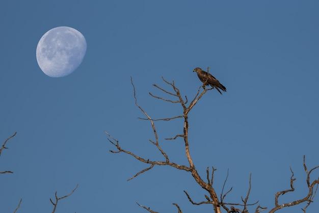 Papagaio preto empoleirado nos galhos de uma árvore