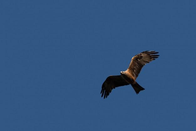 Papagaio preto voando sobre o céu