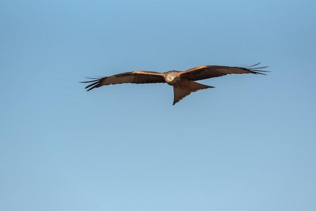 Papagaio real voando sobre o céu azul