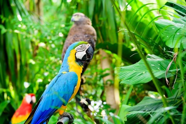 Papagaio selvagem, papagaio macaw, ara ambigua. pássaro raro selvagem no habitat natural.