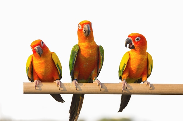Papagaio sun conure