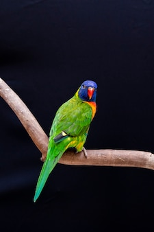 Papagaio trichoglossus moluccanus no poleiro de madeira.