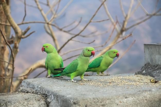 Papagaio verde do grupo na parede de pedra.