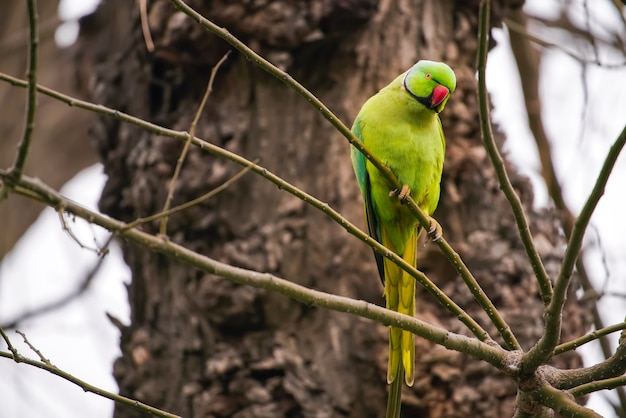 Papagaio verde grande em um galho