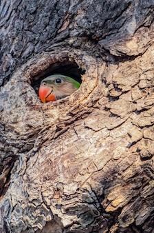 Papagaio verde na árvore, o ninho de papagaio