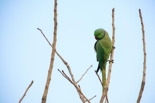 Papagaio verde na árvore.