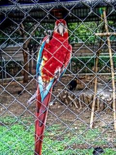 Papagaio zoológico
