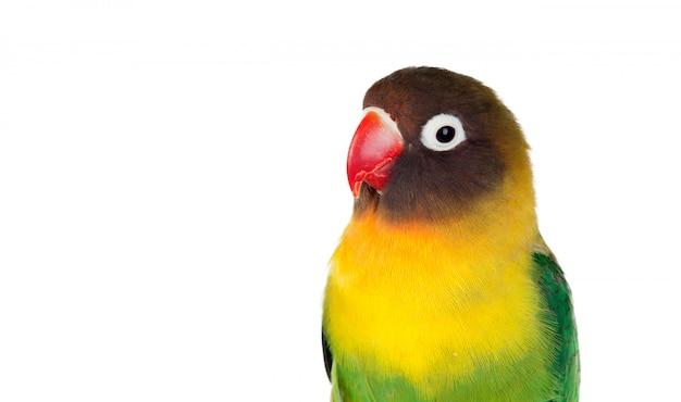 Papagaios amarelos com bico vermelho
