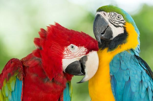 Papagaios coloridos